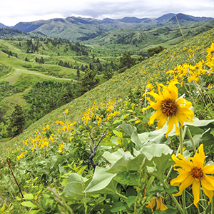 Spring Bear Paw Mountains with Arrowleaf Balsamroot Flowers